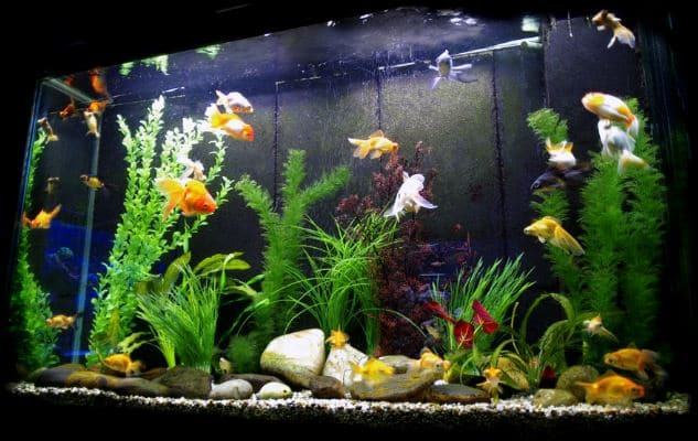 How To Set Up A Fish Tank For Goldfish Aquarium Adviser