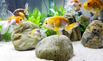 How to Set Up a Fish Tank for Goldfish?
