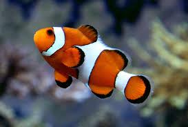 Clownfish Ocellaris Clownfish