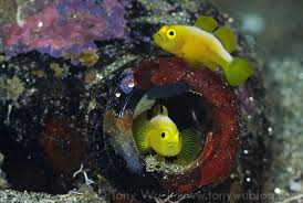 Coral or Crown Goby