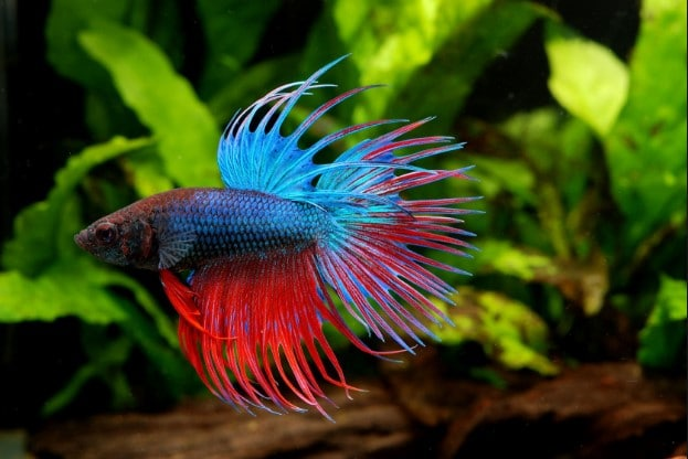 How often should you feed a betta fish aquarium adviser for How to feed fish