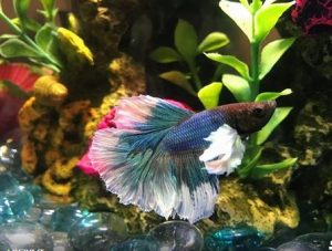 Can You Feed Betta Food To Other Fish