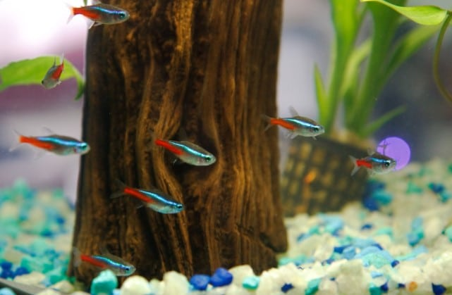 What fish can live with betta fish aquarium adviser for Best place to buy betta fish