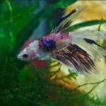 What Fish Can Live with Betta Fish?