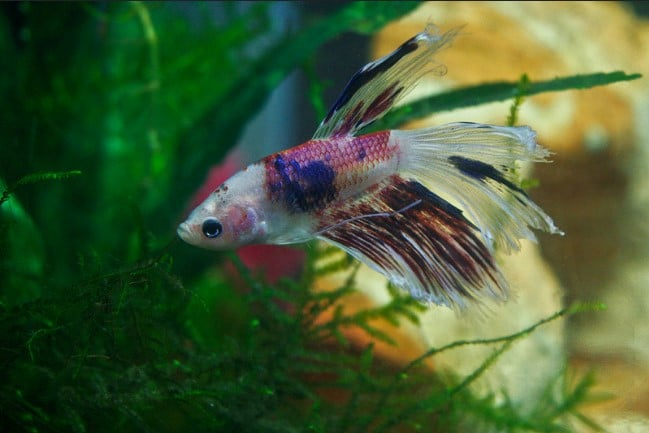 what fish can live with betta fish aquarium adviser