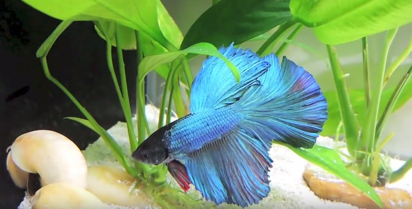 How to take care of your betta fish aquarium adviser for How to care for a betta fish