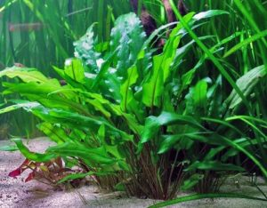 These Live Plants For Freshwater Aquariums Can Vary Widely In Size Color And Shape Cryptocorynes Comes A Wide Range Of Varieties Yet Regardless