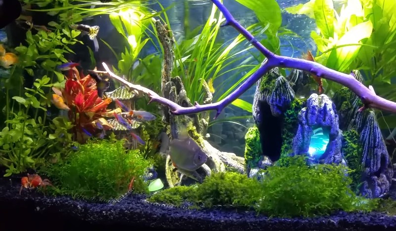 15 best freshwater fish for aquarium aquarium adviser for Good community fish