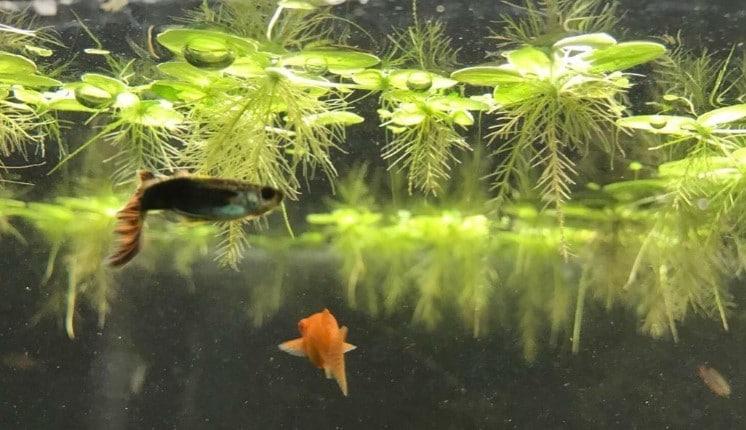 Benefits-of-Floating-Plants-in-Aquarium