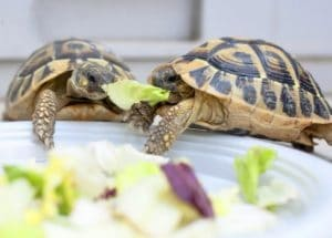 Turtles eat besides turtle food