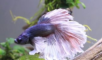 How long should you wait to put betta fish in a new tank?