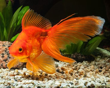 Best Goldfish Food for Growth and Color