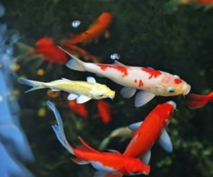 The Best Koi Food For Growth and Color - Koi Fish Feeding Guide