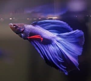 Best Water for Betta Fish