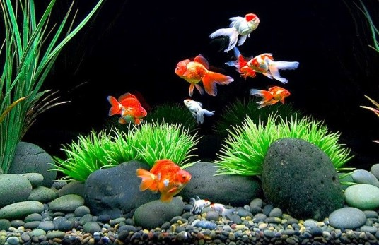 How Often Should You Feed Goldfish?