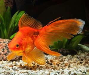 How Often to Feed Goldfish? How Much? Why is my Goldfish not Eating?