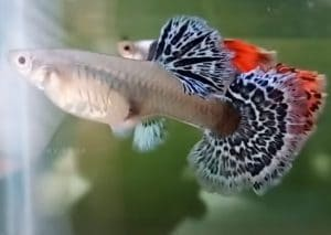 5 Best Guppy Food for Color, Growth & Immune Support (2019)
