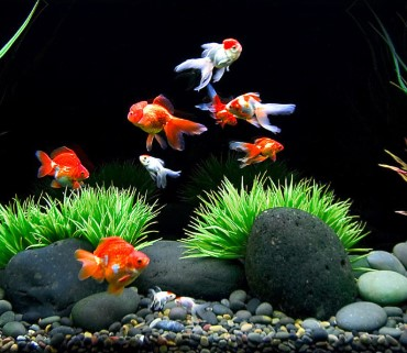 The Best Goldfish Tanks - Don't Choose Less Than 20 Gallons!