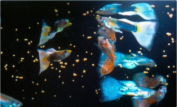 How Much to Feed Guppy Fish?