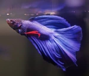 Why is My Betta Fish Not Eating? (Tips and Advice)