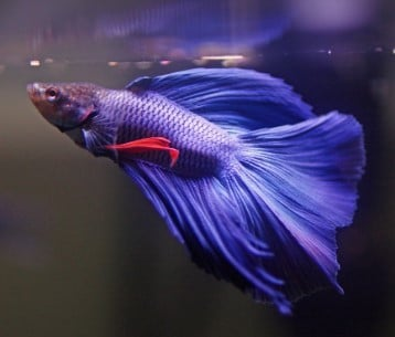 Why is My Betta Fish Not Eating? (Tips & Advice)