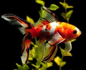 Why Is My Goldfish Turning Black Diagnose Cure And