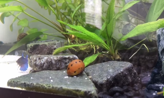 Benefits of Snails in a Freshwater Aquarium