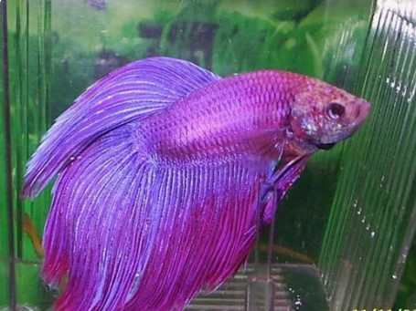 How Long Betta Fish Live in Captivity?