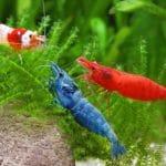 Freshwater Aquarium Shrimp – The 10 Best Shrimps for Aquarium