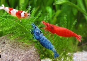 Freshwater Aquarium Shrimp The 10 Freshwater Shrimp Species