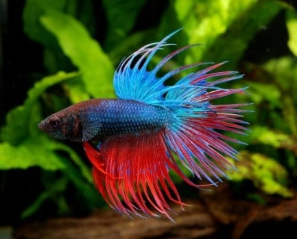 How Long Do Betta Fish Live Average Lifespan Of A Betta Fish