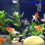 What Fish Can Live With Goldfish? – 8 Goldfish Tank Mates List