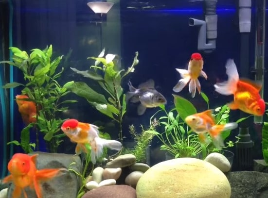 What Fish Can Live With Goldfish? - 8 Goldfish Tank Mates List
