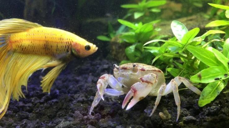 Aquarium Crab Tank Mates