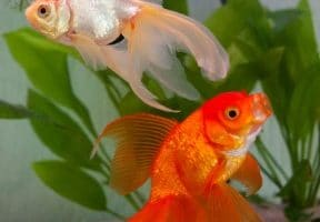 Can Betta Fish Live with Goldfish?