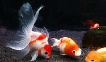 Can Goldfish Eat Betta Food?