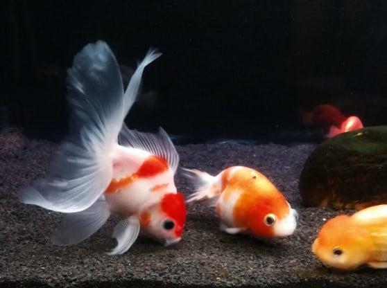 Can Goldfish Eat Betta Food?