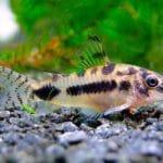 10 Best Freshwater Aquarium Catfish Species