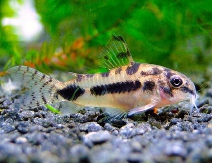 10 Freshwater Aquarium Catfish Species - Aquarium Catfish Types & Care