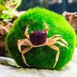 Types of Freshwater Aquarium Crabs