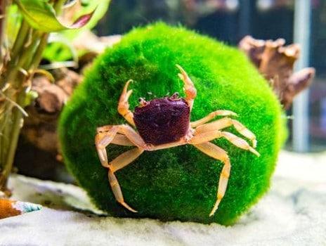 6 Freshwater Aquarium Crabs - Types of & Freshwater Crab Care