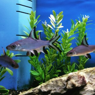 Freshwater Aquarium Sharks - Types of, Setup & Care Guide
