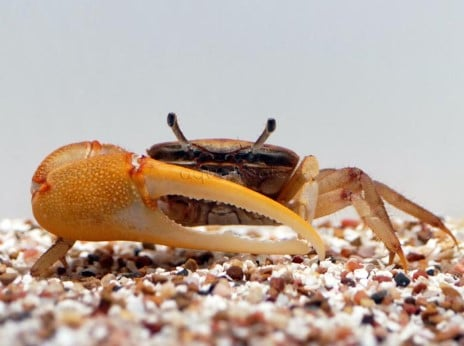 Gold Claw Crabs