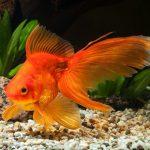 How Long Do Goldfish Live? Average Lifespan of a Goldfish