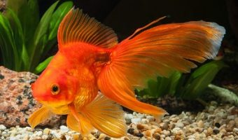 How Long Do Goldfish Live? Average Lifespan of a Goldfish