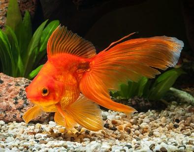 How Long Do Goldfish Live Average Lifespan Of A Goldfish