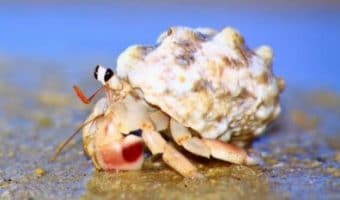 How to Make Saltwater for Hermit Crabs?