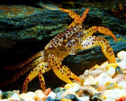 Panther Crabs