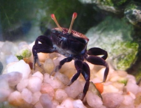 6 Freshwater Aquarium Crabs - Types of & Freshwater Crab Care