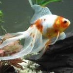 Why is My Goldfish Turning White?